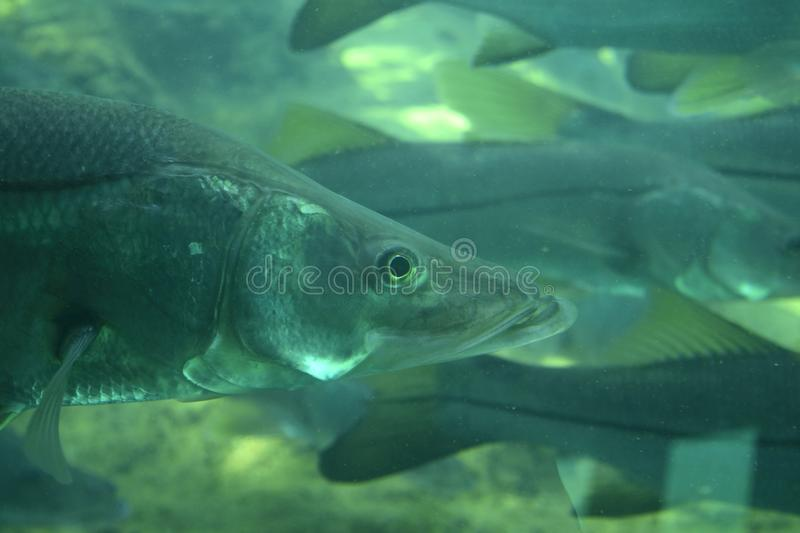 Common Snook swimming in the springs. Common Snook swimming in the springs at Ellie Schiller Homosassa Springs Wildlife State Park in Homosassa Springs, Florida royalty free stock photos