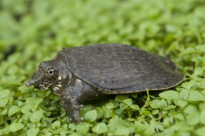Common softshell turtle or asiatic softshell turtle. Amyda cartilaginea stock photo