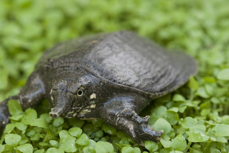 Common softshell turtle or asiatic softshell turtle. Amyda cartilaginea stock photography