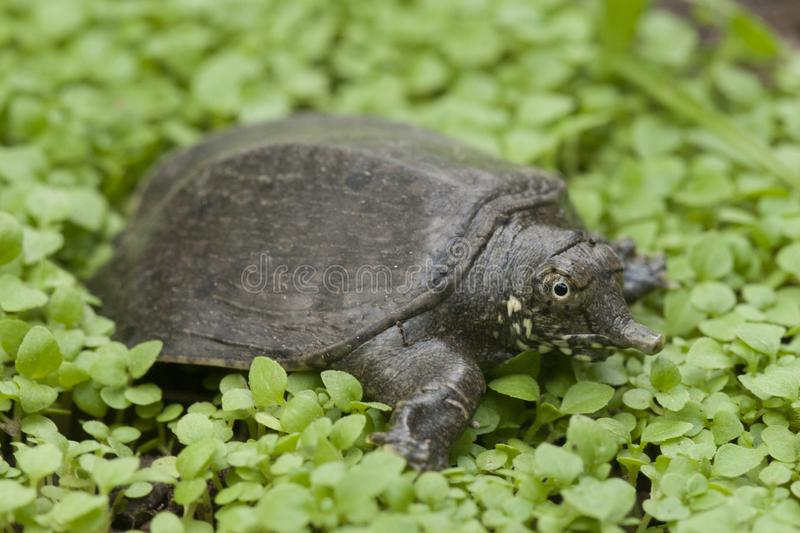 Common softshell turtle or asiatic softshell turtle. Amyda cartilaginea stock photos