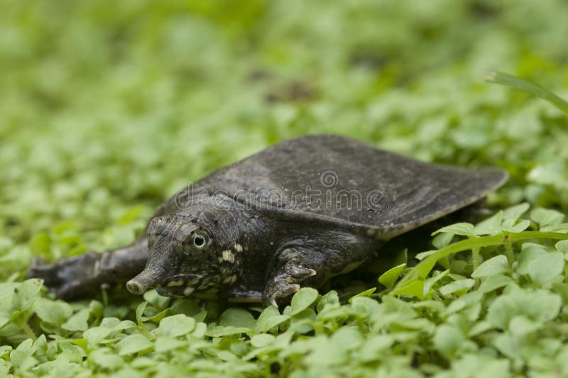Common softshell turtle or asiatic softshell turtle. Amyda cartilaginea royalty free stock images