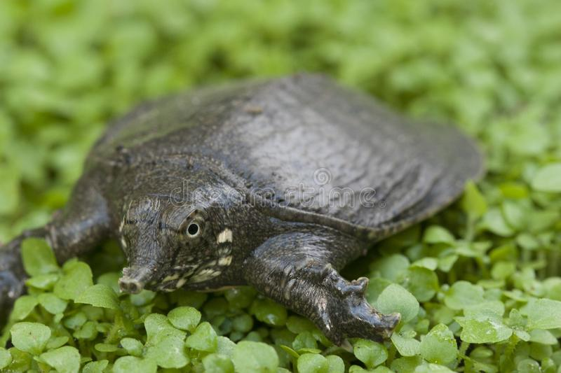 Common softshell turtle or asiatic softshell turtle. Amyda cartilaginea royalty free stock image