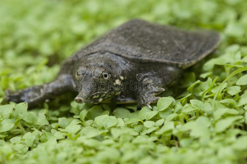 Common softshell turtle or asiatic softshell turtle. Amyda cartilaginea royalty free stock photo