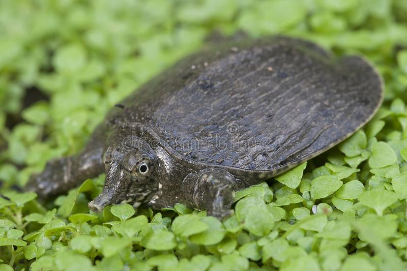 Common softshell turtle or asiatic softshell turtle. Amyda cartilaginea stock image