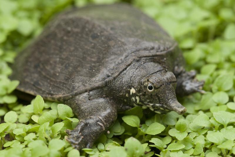 Common softshell turtle or asiatic softshell turtle. Amyda cartilaginea royalty free stock photos