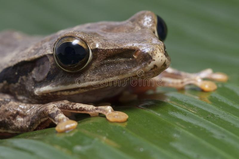 Common Southeast Asian Tree Frog stock photography