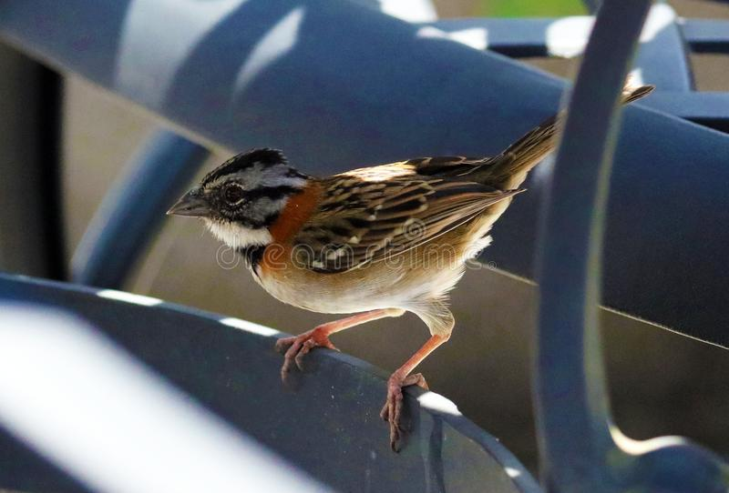 common sparrow in chairs looking for food in costa rica during