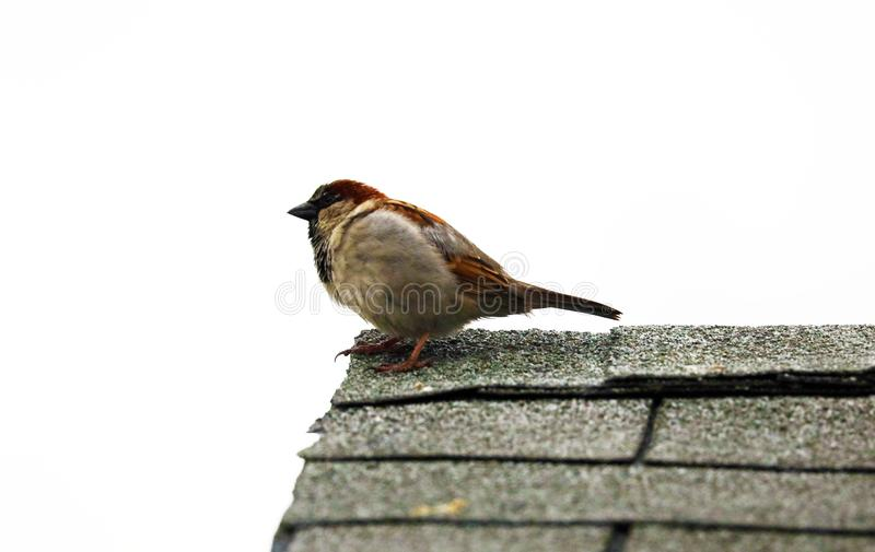 Common sparrow in top of a house. In white background royalty free stock photography