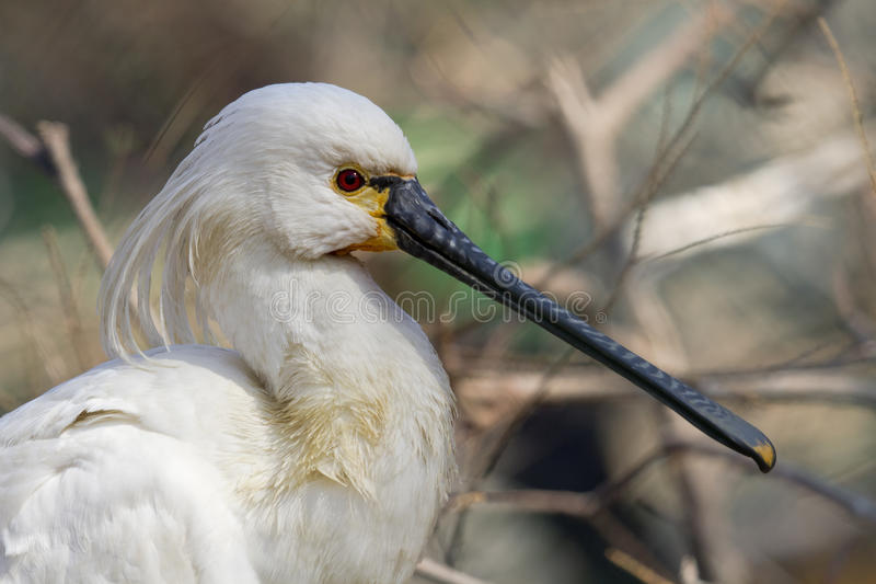 Download Common Spoonbill stock image. Image of endangered, natural - 23383687