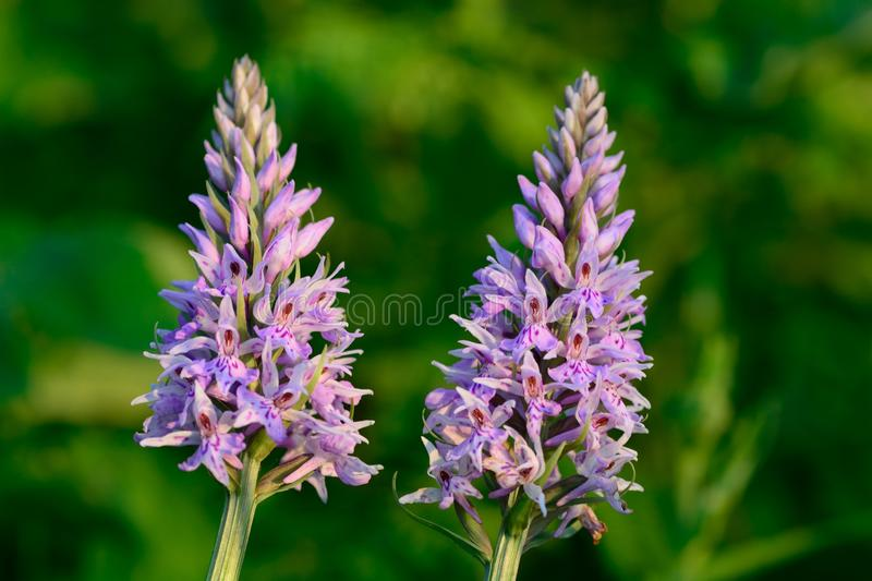 Common spotted orchids stock photography