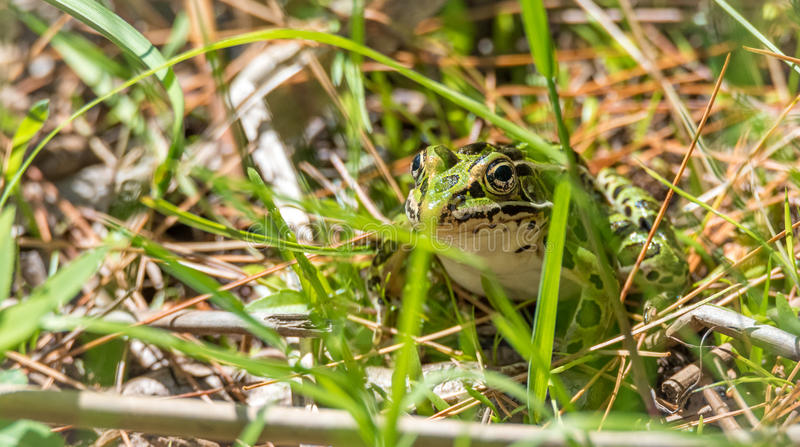 Common spotty green Northern leopard frog. A summer`s day finds this amphibian animal sitting in the grass and warming in the sun stock photography