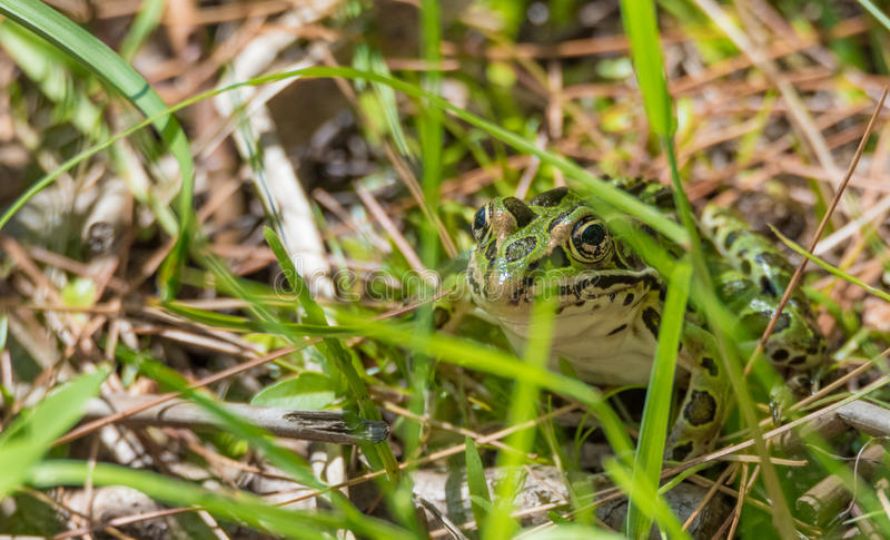 Common spotty green Northern leopard frog. A summer`s day finds this amphibian animal sitting in the grass and warming in the sun stock images