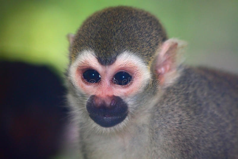 Common Squirrel Monkey. The Common Squirrel Monkey (Saimiri sciureus) is a small New World primate from the Cebidae (squirrel monkey) family, and native to the royalty free stock images