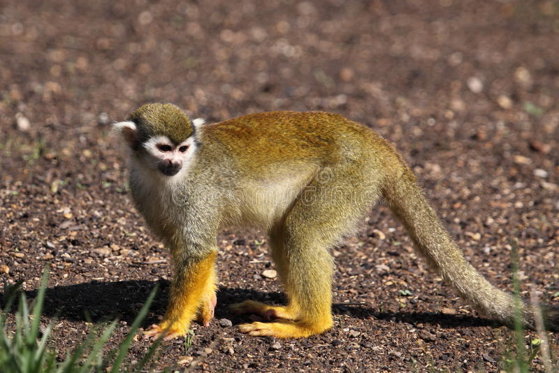 Download Common squirrel monkey stock photo. Image of sciureus - 19735108