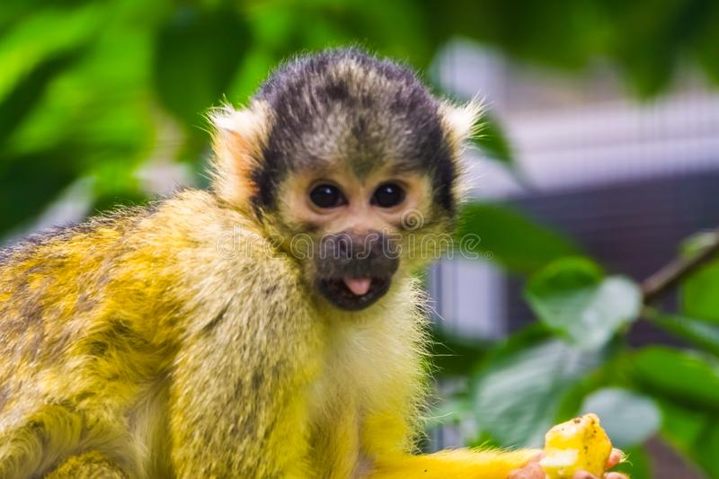 Common squirrel monkey with its face in closeup, funny and cute tropical primate specie from America royalty free stock photo