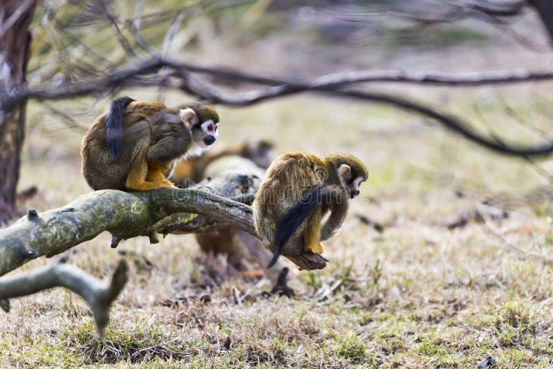 Common squirrel monkey stock photos
