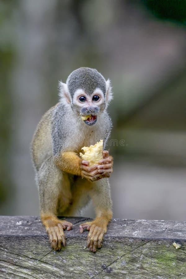 Common squirrel monkey Saimiri sciureus stock photography