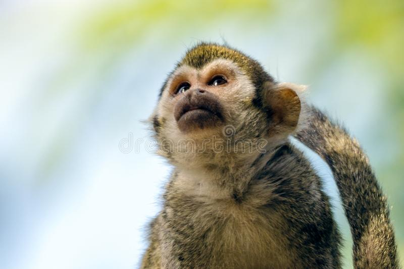 Common Squirrel Monkey at Phoenix Zoo. A common squirrel monkey Saimiri sciureus at the Phoenix Zoo in Phoenix, Arizona royalty free stock image