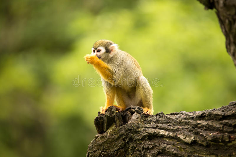 Common squirrel monkey, Saimiri sciureus is very moving primate. The Common squirrel monkey, Saimiri sciureus is very moving primate stock photos