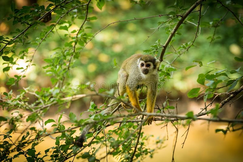 Common squirrel monkey Saimiri sciureus walking on a tree branch stock image