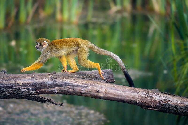 Common squirrel monkey walking on a tree branch above water royalty free stock image