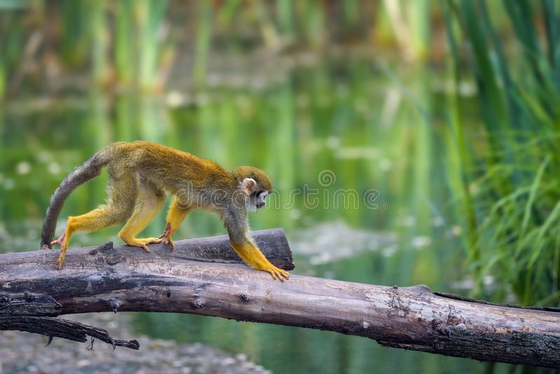 Common squirrel monkey walking on a tree branch above water. Common squirrel monkey, also called Saimiri sciureus, walking on a tree branch above water stock image