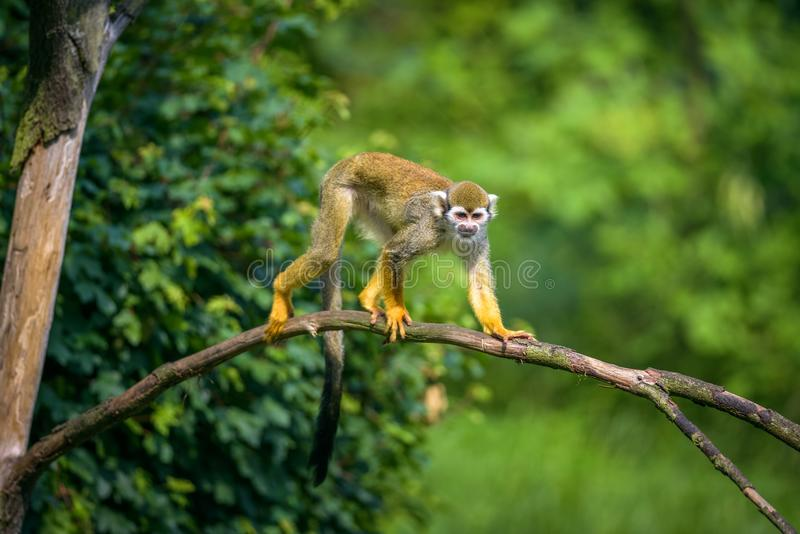 Common squirrel monkey walking on a tree branch royalty free stock photo