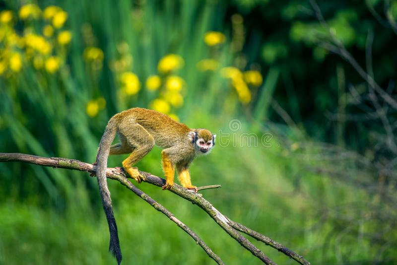 Common squirrel monkey walking on a tree branch stock photography