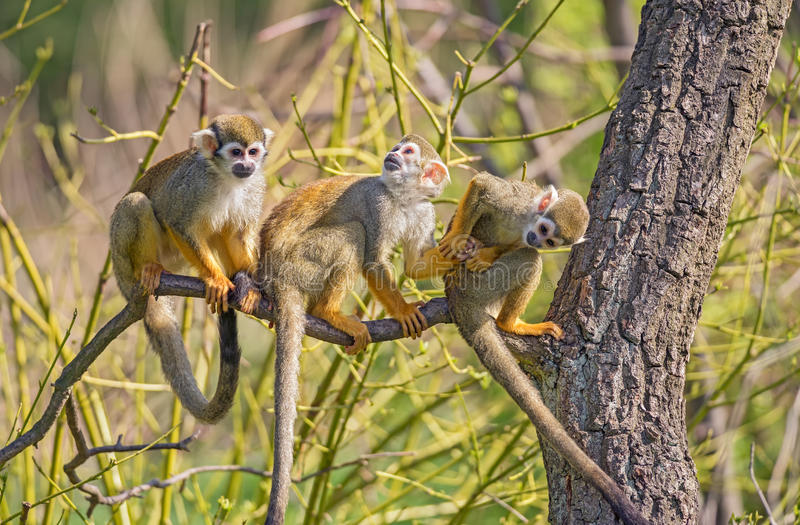 Common squirrel monkeys on a tree branch royalty free stock image
