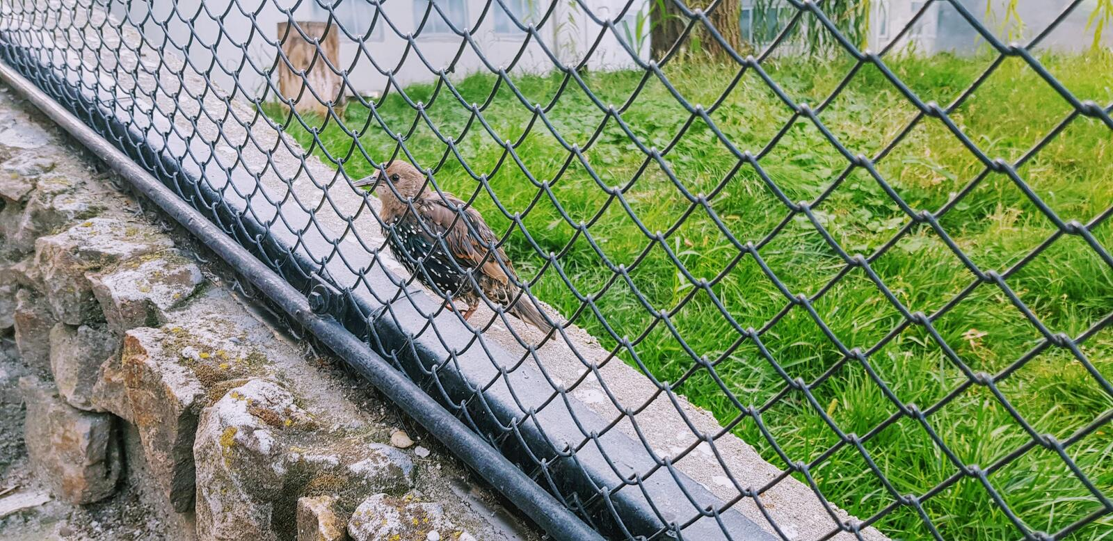 Common starling, also known as European starling bird. Background, fence, grass, green, grid, iron, metal, nature, net, outdoor, steel, wall, wire stock images