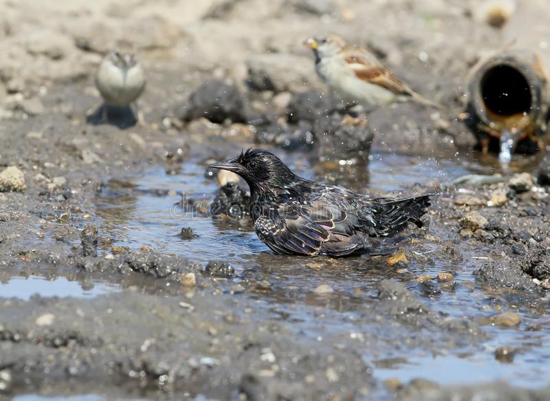A common starling bathes. In a pool of water near the pipe stock image