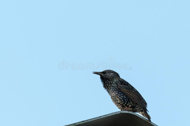 Common Starling by a blue sky. Common Starling, Sturnus vulgaris, sitting on a roof by a blue sky stock image