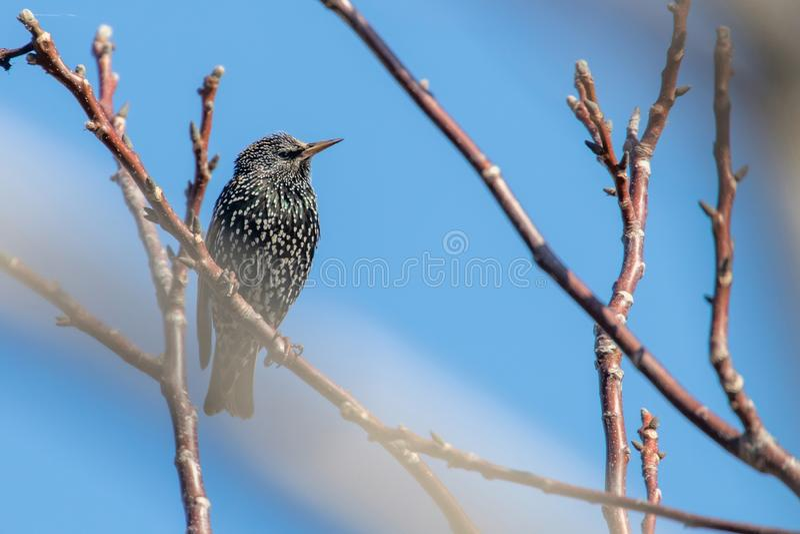 Common Starling on a branch, Sturnus vulgaris. Wildlife stock photos