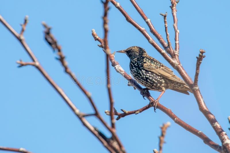 Common Starling on a branch, Sturnus vulgaris. Wildlife royalty free stock image