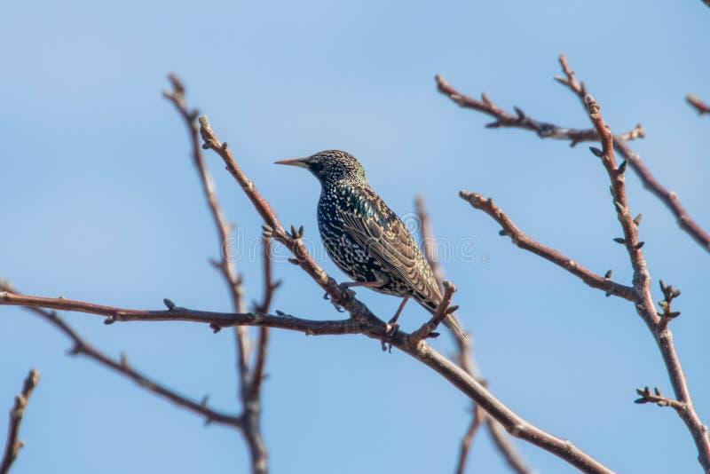 Common Starling on a branch, Sturnus vulgaris. Wildlife royalty free stock photo