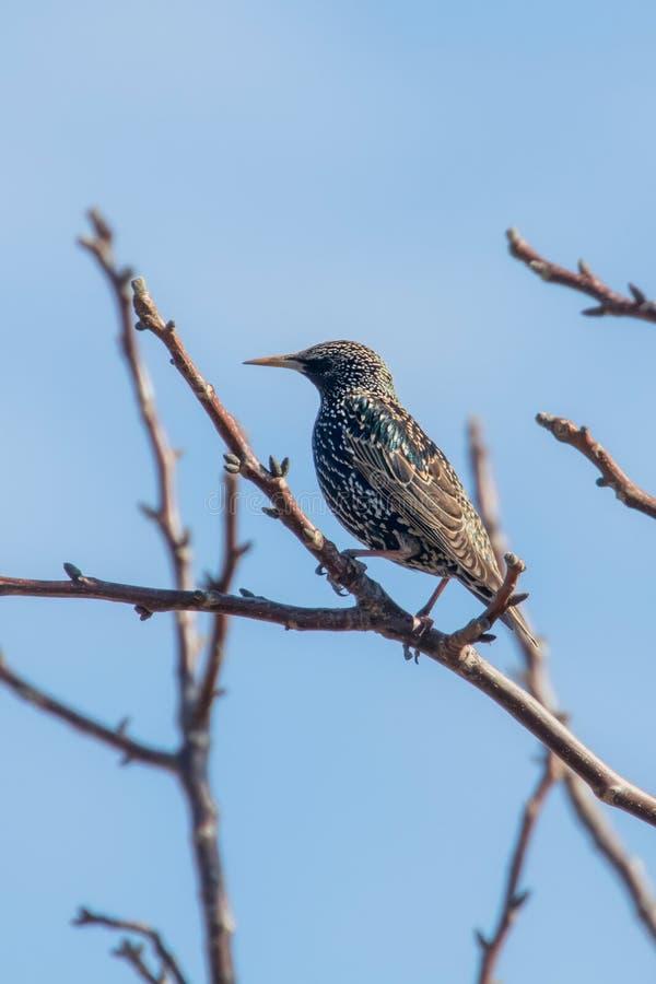 Common Starling on a branch, Sturnus vulgaris. Wildlife stock images