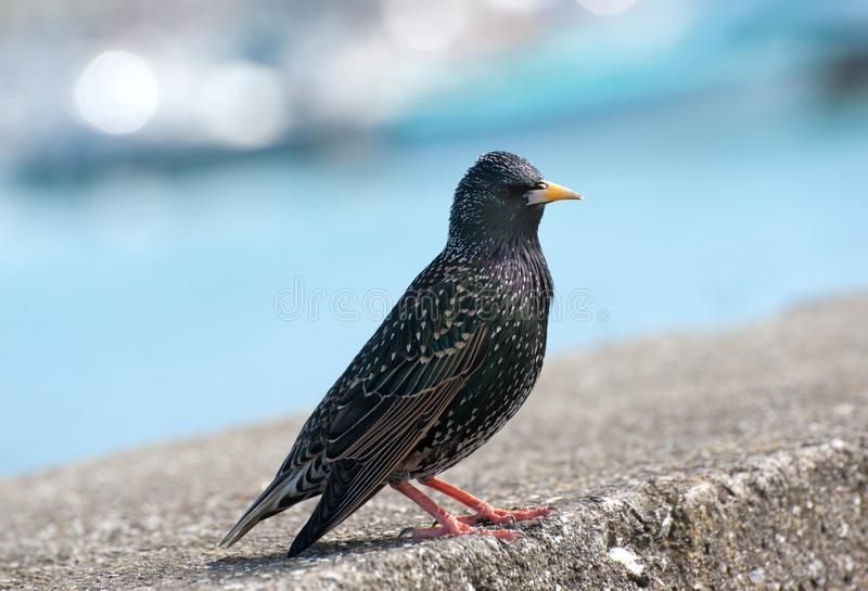 The common starling. On stone stock images