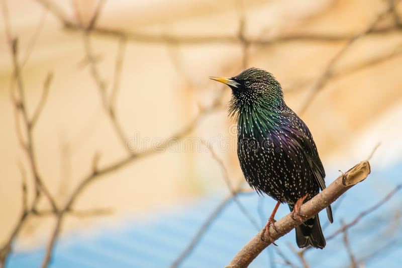 Common starling or European starling. Perched on tree branch with blurred background stock photography