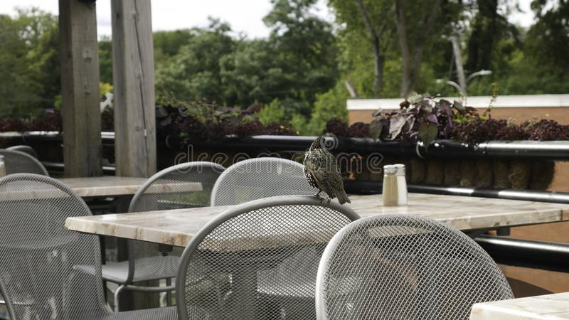 Common Starling at the front of the chair in the cafe garden.  stock photos