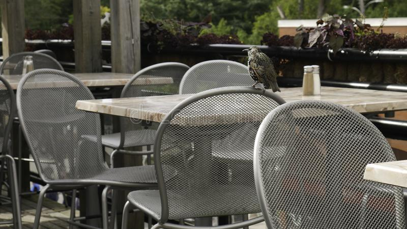 Common Starling at the front of the chair in the cafe garden.  royalty free stock photos