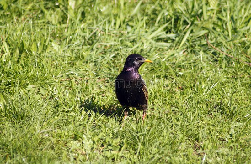 Common Starling In A Grass Stock Photo Image Of Common 114965416