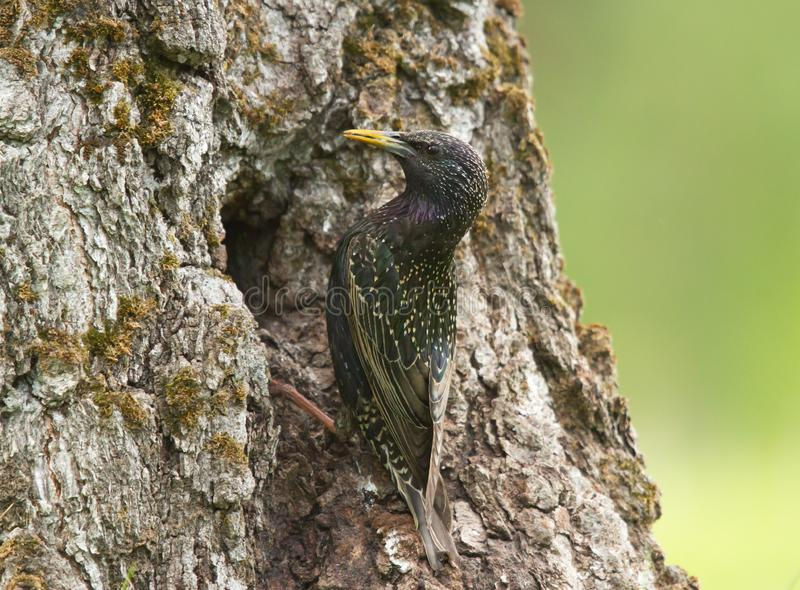 Common starling at the hollow. Common starling Sturnus vulgaris at the hollow stock image