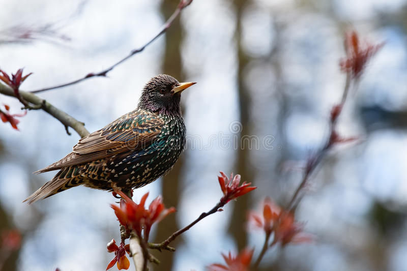 Common Starling (lat. Sturnus vulgaris) sitting on a branch of a royalty free stock images