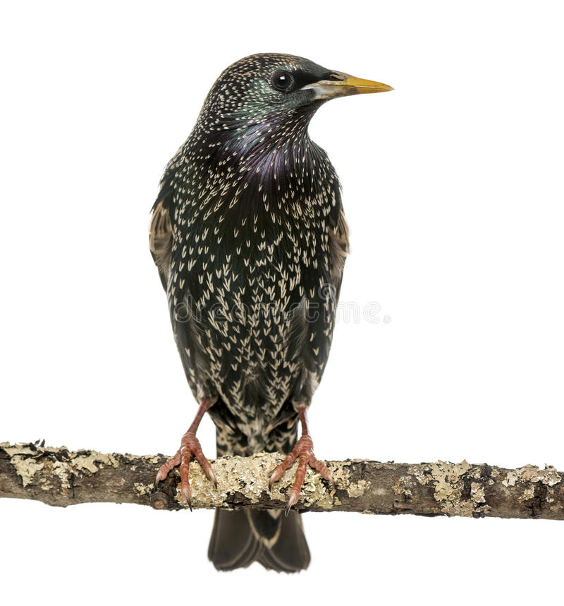 Common Starling perching on a branch, Sturnus vulgaris, isolated. On white stock image
