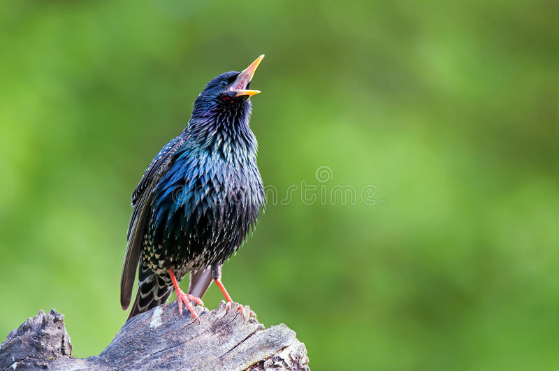 Common starling perching on a tree stump and singing. Common starling perching on tree stump and singing royalty free stock photos