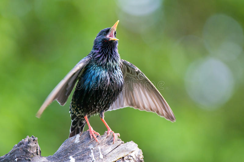 Common starling. Photo of common starling singing, calling, and waving with it's wings royalty free stock image