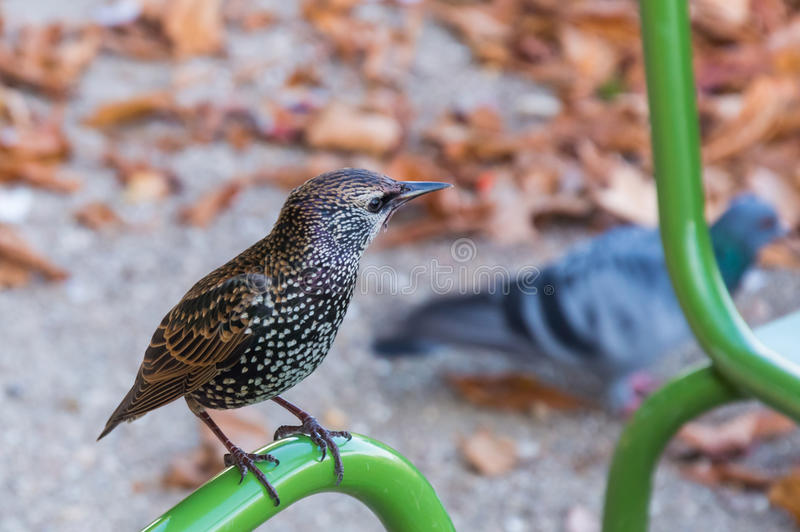 Common Starling on pipe. Starling on the pipe. European Starling Sturnus vulgaris royalty free stock image