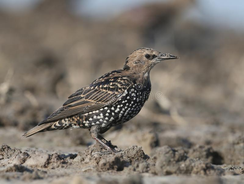 Common starling portrait. One common starling sits on a ground closr up portrait stock image