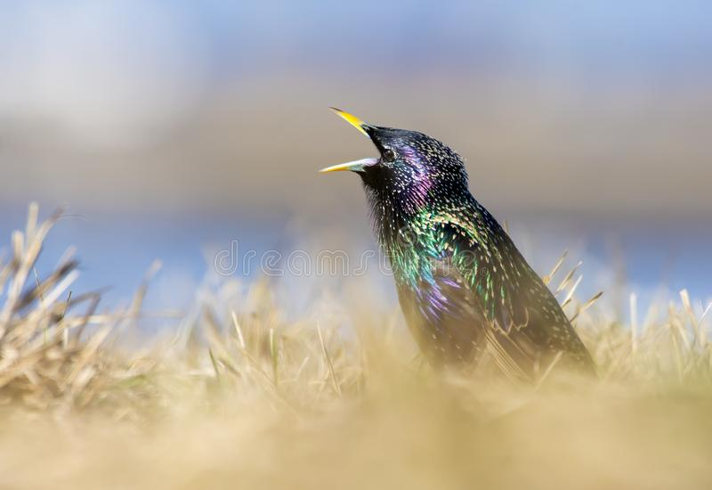 Common Starling loud song in yellow field royalty free stock images