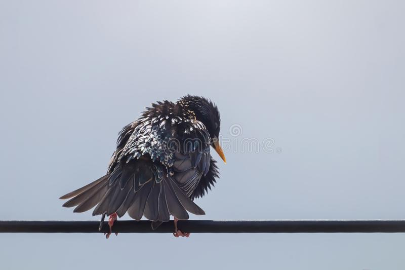 Common Starling Sitting In Wire Europe Nature Wildlife. Wildlife royalty free stock photo
